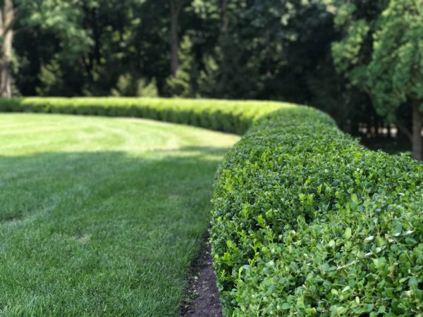 Boxwood hedge planting in Basking Ridge New Jersey
