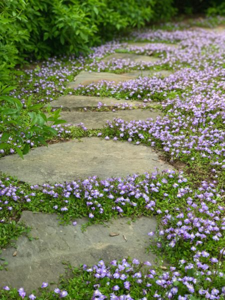 Mazus ground cover surrounding rustic stepping stone pathway in Bridgewater, New Jersey